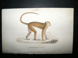 Jardine C1835 Antique Hand Col Print. The Red Monkey